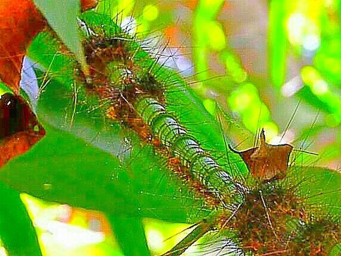 Wild worm. Hala