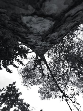 The look up tree Tree Tall Low Angle View Forest Nature