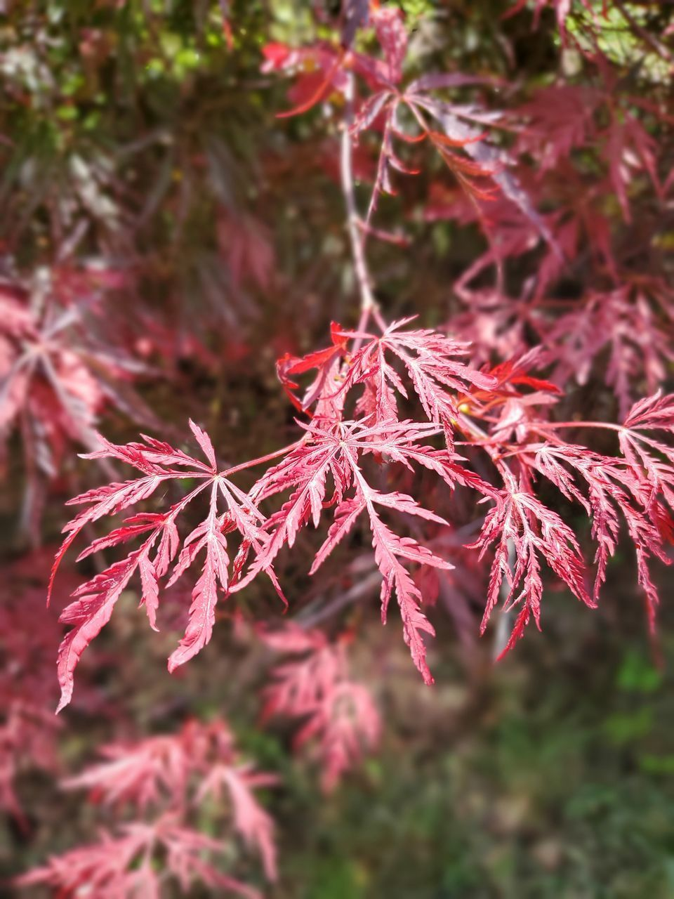 CLOSE-UP OF AUTUMN LEAVES ON PLANT