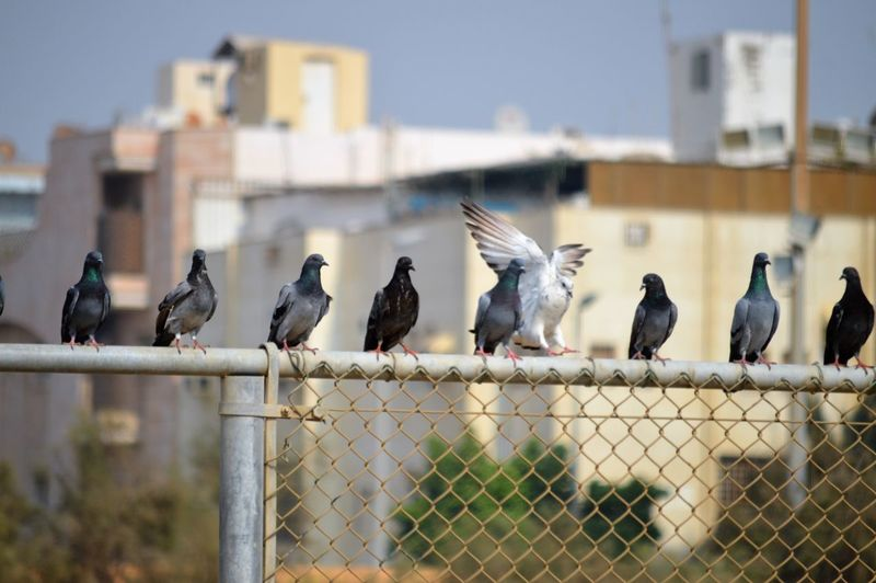 Animal Animal Themes Animal Wildlife Animals In The Wild Architecture Barrier Bird Boundary Building Exterior Built Structure Chainlink Fence Day Fence Focus On Foreground Group Of Animals Metal Nature No People Outdoors Perching Vertebrate