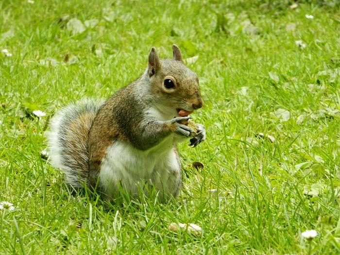 Squirrel Nuteater Feeding