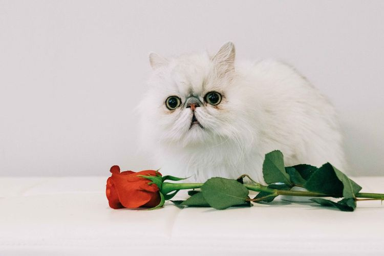 High angle view of cat on white rose