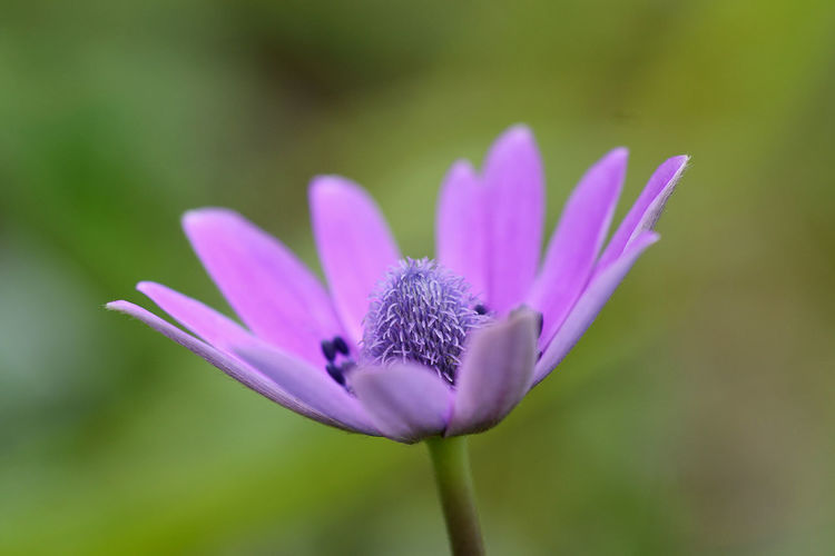 close-up of anemone hortensis wildflower Flowering Plant Flower Plant Freshness Beauty In Nature Close-up Purple Flower Head Inflorescence Focus On Foreground Selective Focus Outdoors Pollen Nature Petal Stamen Pistil Anemone Wildflower EyeEm Nature Lover EyeEm Best Edits EyeEm New Here