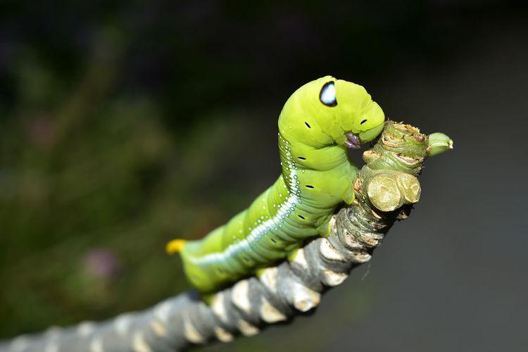 Close-up of caterpillar on a animal