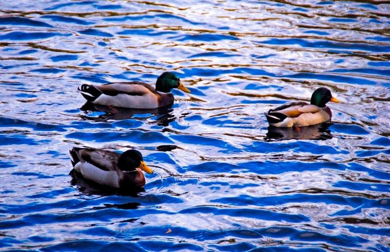 Three's a crowd Ducks Animals Nature Eyem Best Shots