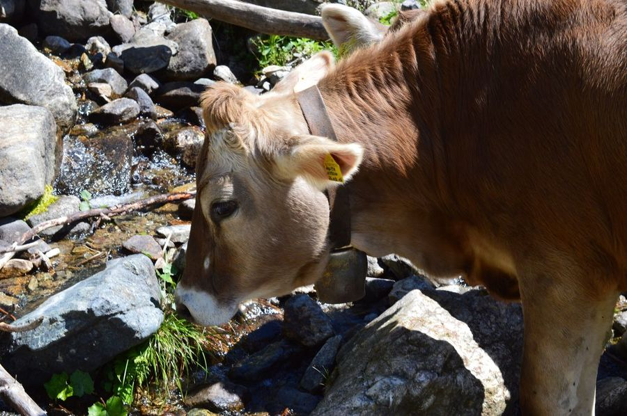 Südtirol South Tyrol Alto Adige Cow Animal Animal Themes Mammal Vertebrate Domestic Animals One Animal Domestic Pets Sunlight Day Livestock Nature No People High Angle View Rock - Object Outdoors