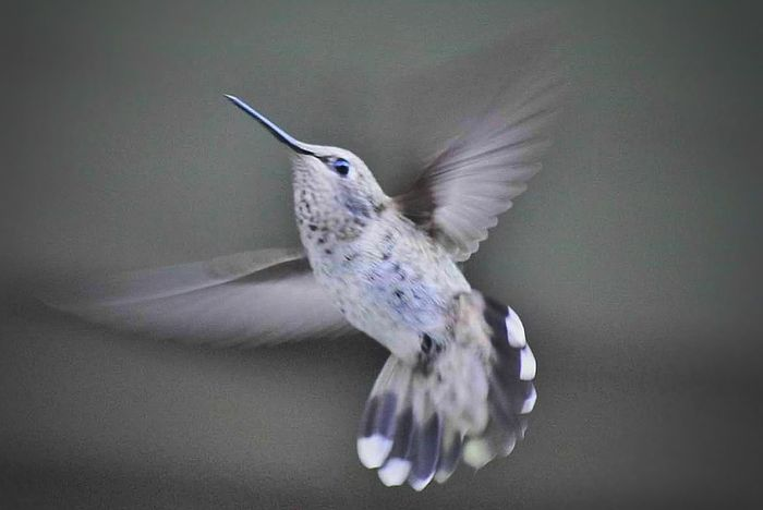 Hummingbird Bird Flying One Animal Animal Wildlife Animal Body Part Spread Wings Mid-air Animals In The Wild Animal Themes Motion Feather  No People Nature Close-up Mourning Dove Bird Of Prey Outdoors Day