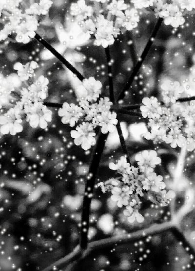 Beauty In Nature Flowers, Nature And Beauty Queenanneslace Macro_collection Macro Photography Macro_flower Black And White Photography Black And White Flower Collection Showcase June EyeEm Week Popular New On Market New On Eyeem Fresh On Eyeem  EyeEm Gallery TRENDING  Macro