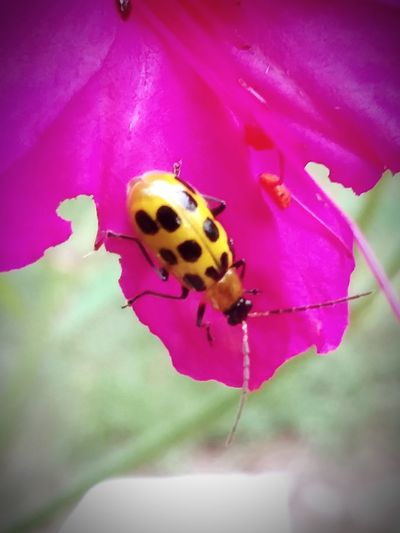 Ladybug Perching Insect Pink Color Animal Themes Close-up Beetle Arthropod Tiny Symbiotic Relationship Bug Animal Antenna Flower Head Blooming Pollination