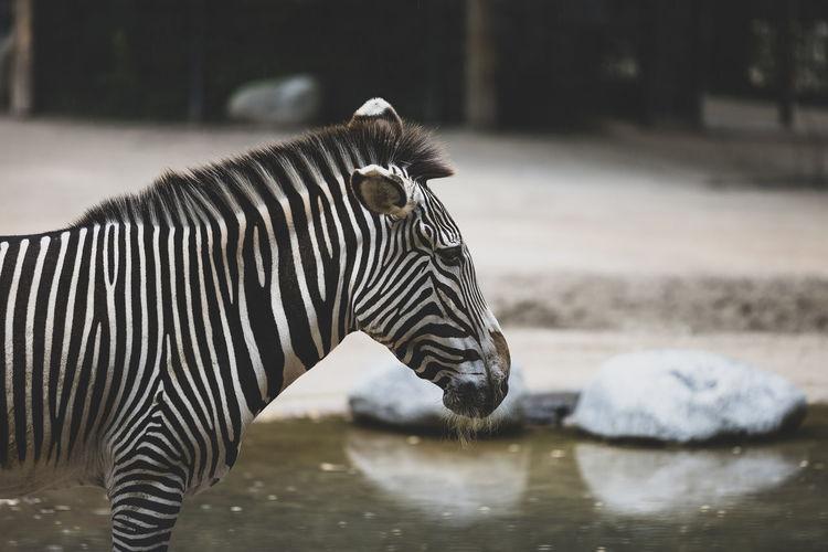 Bored zebra