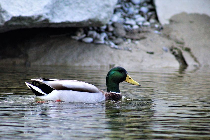 Animal Themes Animal Wildlife Animals In The Wild Bird Day Duck Lake Nature No People Outdoors Swimming Water Waterfront
