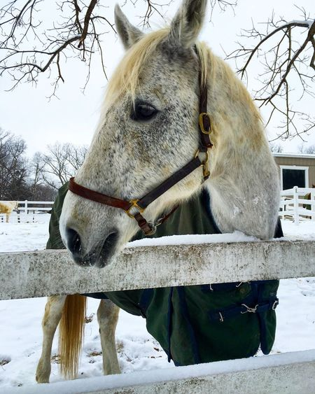 Horse standing by fence on snow covered field