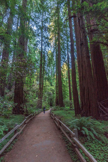 Tree Forest Plant Direction Land The Way Forward WoodLand Tranquility Footpath Diminishing Perspective Nature Tree Trunk Trunk Growth Beauty In Nature Tranquil Scene Day Non-urban Scene Road Scenics - Nature No People Outdoors Bamboo - Plant Redwoods