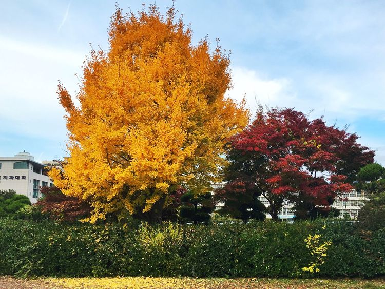 View School Maidenhair Tree Maple Maple Leaf Maple Tree Tree Fall Beauty Fall Fall Colors Autumn View