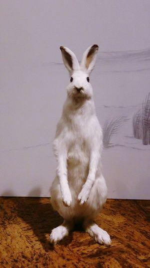 Pets Full Length Sitting Portrait Looking At Camera Close-up Rabbit - Animal Animal Hair