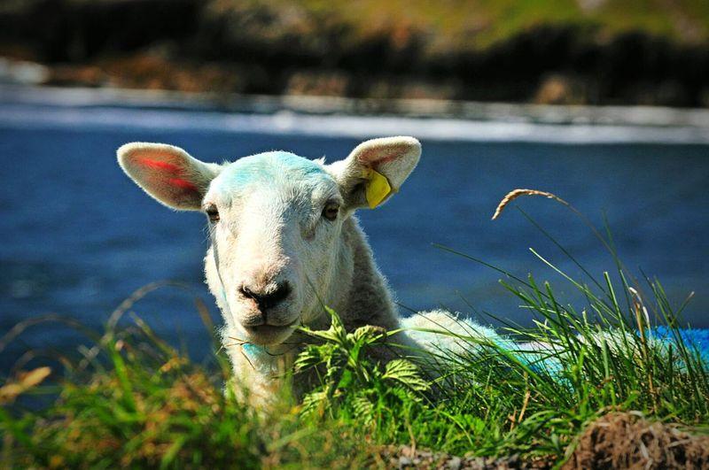 Sheep Sheep🐑
