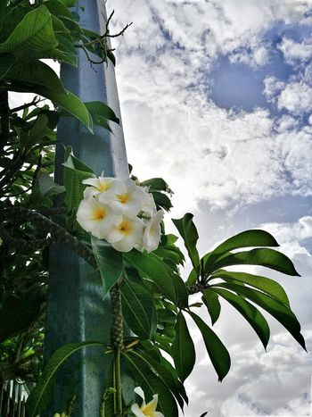 Leaf Tree Nature Growth Sky No People Flower Green Color Outdoors Low Angle View Cloud - Sky Day Beauty In Nature Plant Fragility Branch Close-up Freshness Flower Head Trinidad And Tobago Trinidad Nature Beauty In Nature Tree