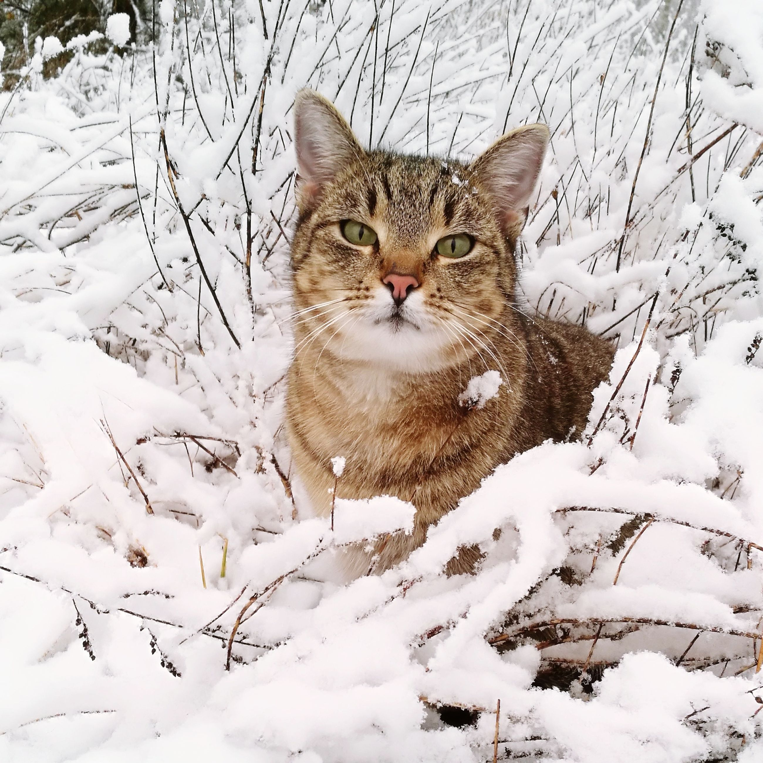 mammal, domestic animals, pets, domestic, animal, animal themes, snow, one animal, winter, cold temperature, cat, feline, domestic cat, vertebrate, portrait, field, looking at camera, land, day, no people, whisker
