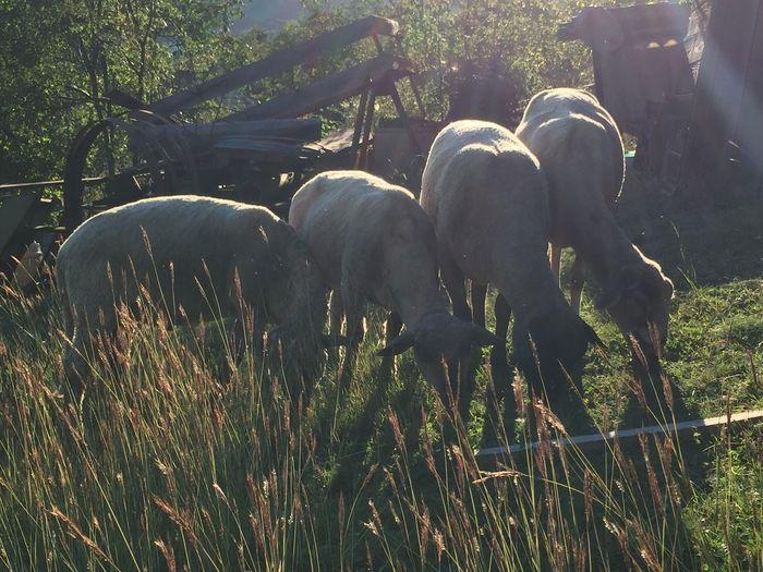 Sheep grazing, small holding in Krupina, Slovakia Sheep Grazing Livestock Farm Farm Life Nature Outdoors Domestic Animals Animal Themes Travel