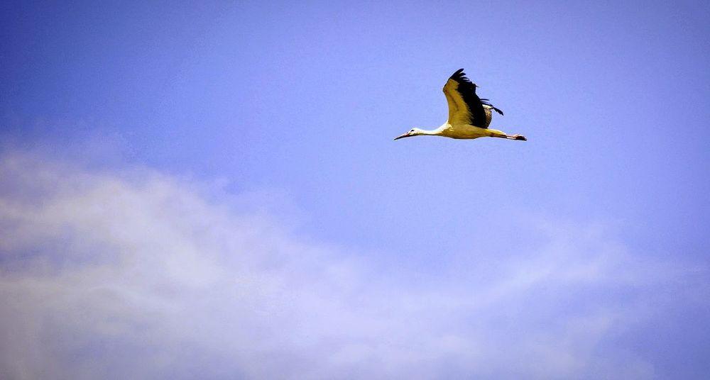 Bird Flying Animal Wildlife Animals In The Wild Animal One Animal Spread Wings Stork Blue Mid-air Beak Nature Outdoors Sky No People Bird Of Prey Ibis Day Animal Themes Storks In The Wild Storks Doñana
