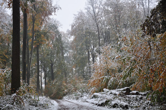 Autumn Autumn Colors Autumn Leaves Foliage Plant Forest Path Forestry Weather Phenomenon Beech Trees Early Snowfall Forest Snow Snow Bending Trees Snow Covered Unusual Weather Weather Condition Winter Damage