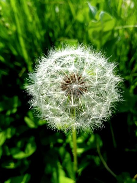 Flower Head Flower Soft Focus Springtime Uncultivated Wildflower Softness Dandelion Close-up Plant