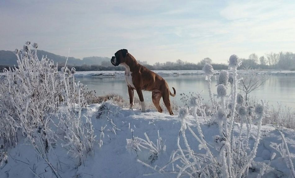 Snow ❄ Winter Wonderland Boxer Dogslife I Love My Dog❤ BóxerWeekend Boxer Dogs Outdoors Wintertime Winter_collection