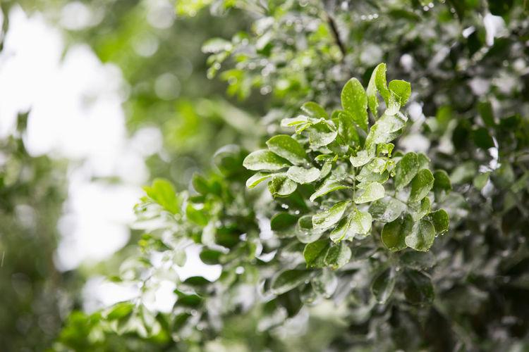 Branch Green