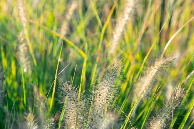 Grass in the wind Plant Growth Grass Nature Green Color Close-up Beauty In Nature Field Land Agriculture No People Selective Focus Cereal Plant Crop  Day Tranquility Farm Rural Scene Wheat Focus On Foreground Outdoors Blade Of Grass Timothy Grass Nikon Nikonphotography
