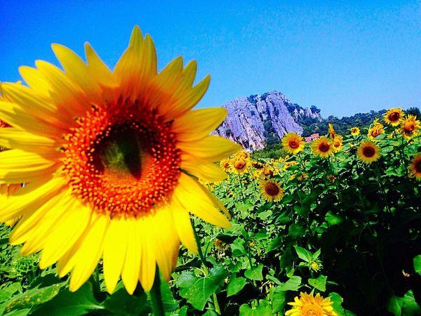 Sunfower Sunflowers Tree Flower Flowers