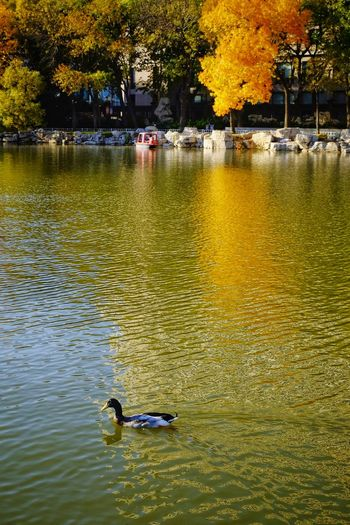 Water Tree Lake Outdoors Reflection Swimming Day No People Nature Bird Travel City Life Cityscape Autumn Colors Autumn Multi Colored Freshness Warm Colors FUJIFILM X-T10 Autumn🍁🍁🍁 Tianjin,China Beauty In Nature Yellow Leaves Tree Lotus Lake