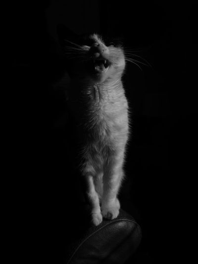 Cute cat Cat Black And White Fineartportrait Black And White Portrait Black And White Collection  Studio Shot Blackandwhite Lowkeyphotography Kitten Adorable Kittens Of Eyeem Kitten Black And White Cat Cat Cat Lovers Catoftheday Kitten's