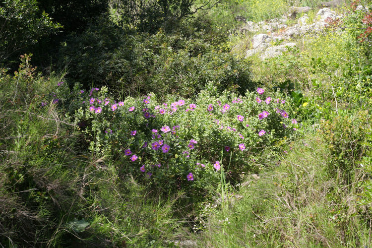 Beauty In Nature Cistus Day Flower Flowers Fragility Freshness Growth Mediterranean  Nature No People Outdoors Plant Purple Purple Flower Purple Flowers Vegetation