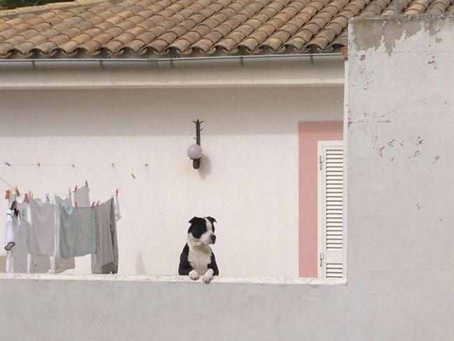 Animal Themes Dog Dogslife Guard Dog Hund Spanischer Hund Spanish Dog Wachhund Watch Dog Watching Dog Watching You