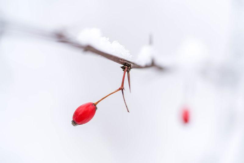 Hagebutte am Zweig mit Schnee Beeren Copy Space Gehölz Hagebutte  Jahreszeit Schnee Winter Close-up Day Freshness Nature No People Outdoors Red Red Color Strauch