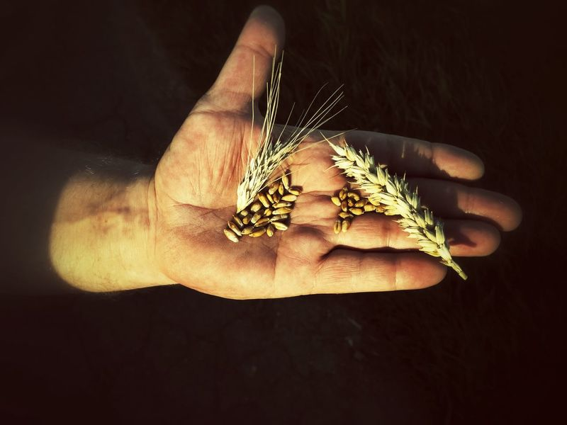 Male hand showing rye corn and wheat corn EyeEm Nature Lover Black Background Agriculture Cereal Plant Farmer Cereal Nutriment Foodstoff Corn Head Harvest Wheat Corn Rye Corn Male RYE Food Showing Holding Human Hand Ripe Corn Plant Farmer Investing In Quality Of Life Food Stories Business Stories
