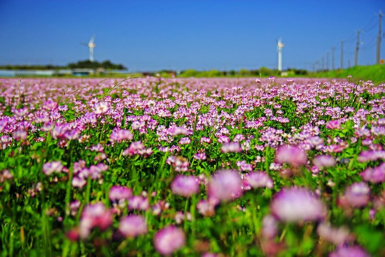 Flower Selective Focus Purple Landscape Field Plant Pink Color Nature Beauty In Nature Good Wind Close-up Clear Sky Summer No People Lavender Agriculture Social Issues Outdoors Sunset Tranquil Scene Hill Uncultivated Rural Scene 蓮華草 Milkvetch