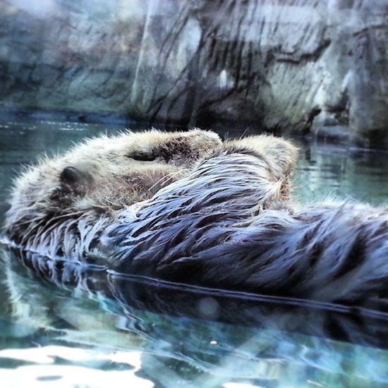 Vancouveraquarium SeaOtter Walter