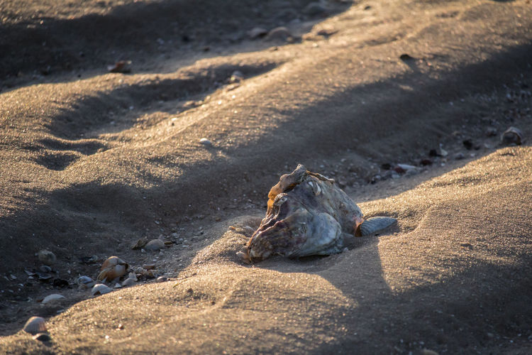 Animal skull on sand at beach