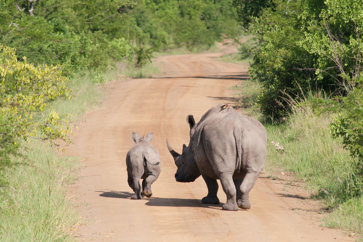 Rear view of rhinoceros and calf walking on dirt road amidst plants