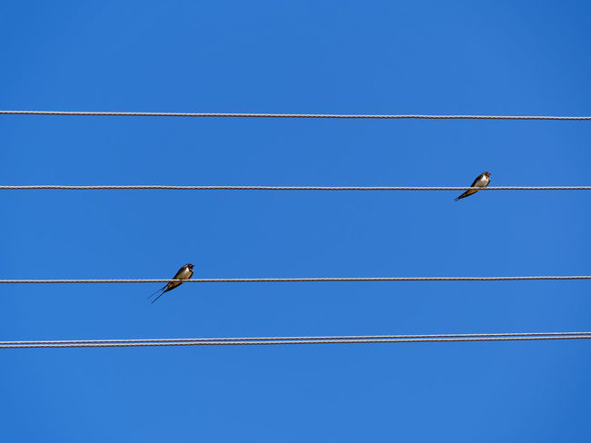 Sunny summer day, Beautiful blue sky. Swallows on electric wire looks like a music notes Bird Vertebrate Animals In The Wild Animal Themes Animal Animal Wildlife Cable Blue Low Angle View Electricity  Perching Sky Power Line  No People Clear Sky One Animal Day Power Supply Connection Nature Telephone Line Outdoors Birds Close-up Music Notes