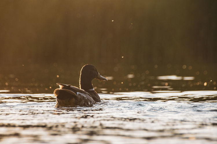 Silhouette of mallard ducks swimming on calm still lake at twilight sunset