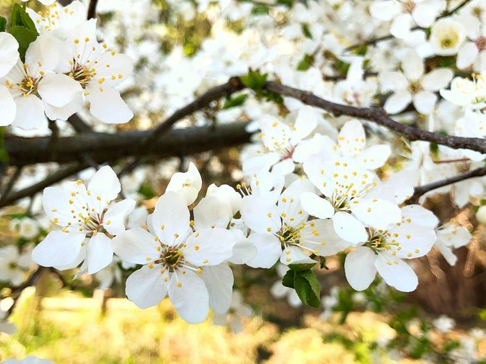 Flowers White Spring Summer Sun Nature Tree Backgrounds Wallpaper Flowering Plant Flower Plant Fragility Freshness Vulnerability  Beauty In Nature Growth Blossom Branch Springtime Petal Close-up Twig White Color Cherry Blossom Day No People Pollen Flower Head Outdoors Cherry Tree