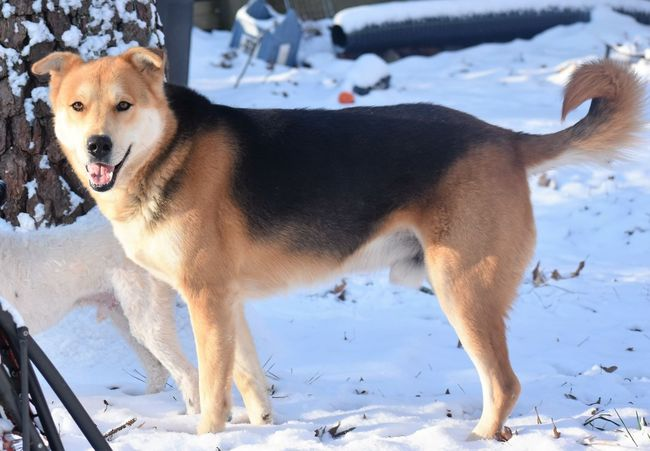 Animal Themes Cold Temperature Day Dog Domestic Animals German Shephard Looking At Camera Mammal Nature No People One Animal Outdoors Pembroke Welsh Corgi Pets Portrait Snow Snow Dog Weather Winter