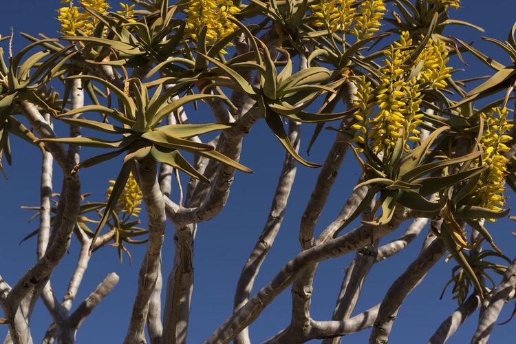 namibia aloe dichotoma tree African Tree Aloe Dichotoma Tree Blue Sky Desert Beauty Flower Tree Namibia Aloe Dichotoma Tree Namibia Tree Tree Yellow Flower