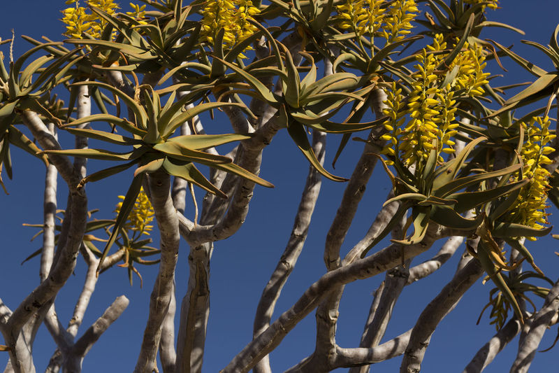 namibia aloe dichotoma tree African Tree Aloe Dichotoma Tree Blue Sky Desert Beauty Flower Tree Namibia Aloe Dichotoma Tree Namibia Tree Tree Yellow Flower