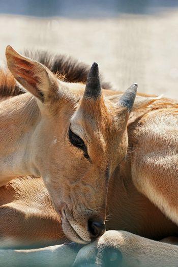 Close-up of deer resting