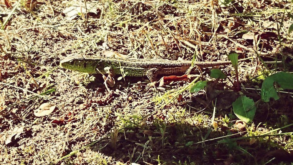 Outdoors No People Day Nature Jaszczurka Zwinka Green Wypoczynek Natura Animal Zwierzątko Zwierzę