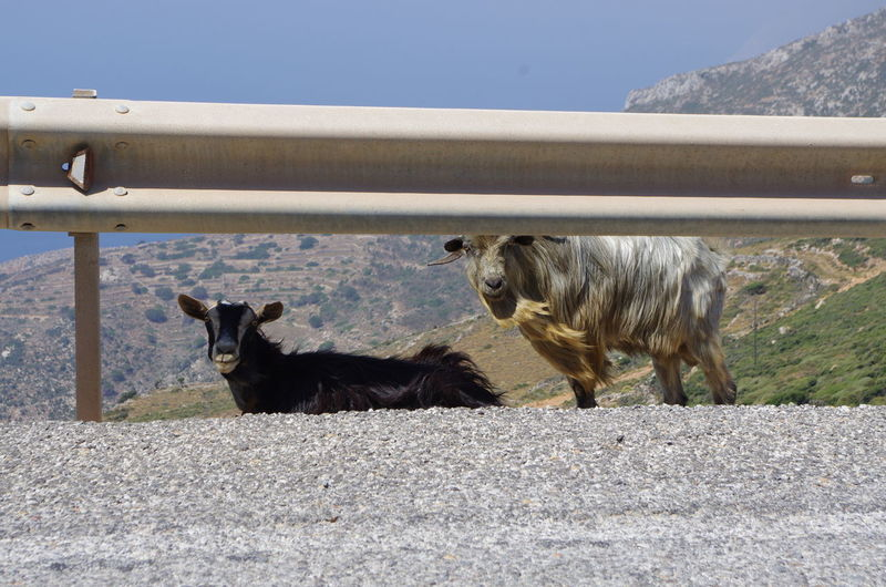 GREECE ♥♥ Griechenland Griechische Inseln Amorgos Amorgosisland Animal Themes Day Domestic Animals Full Length Greece Livestock Mammal Nature No People Outdoors Pets Two Animals Young Animal