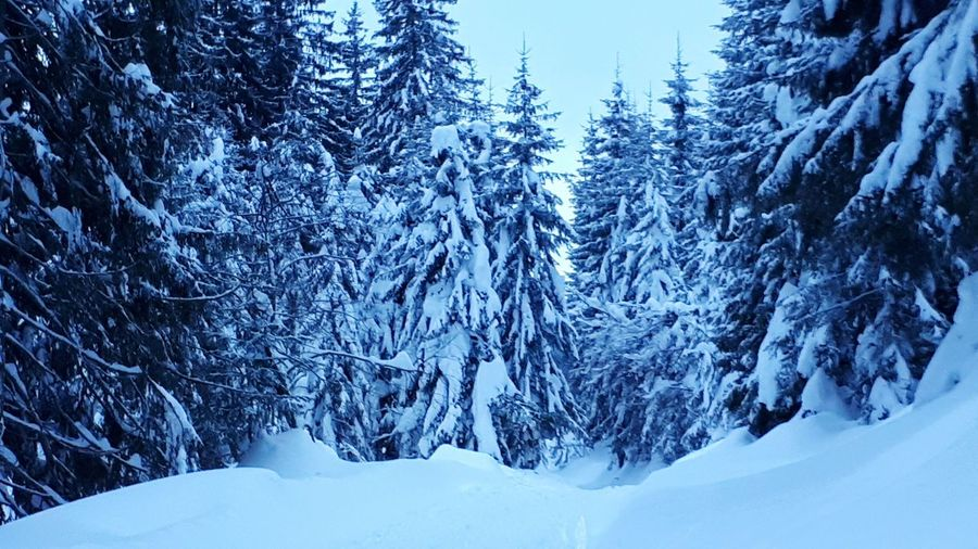 Tree Snow Mountain Cold Temperature Winter Forest Snowing Polar Climate Pine Tree Frozen Deep Snow Evergreen Tree Powder Snow WoodLand